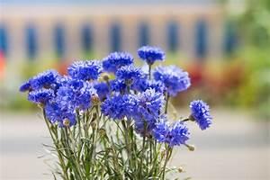 Blau De Rechnung Online : kornblume blau centaurea cyanus blau g nstig online kaufen ~ Themetempest.com Abrechnung