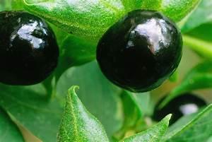 Kirschlorbeer Ohne Beeren : giftige pflanzen in der schweiz konsum themen n tzliche einkaufstipps und ~ Yasmunasinghe.com Haus und Dekorationen