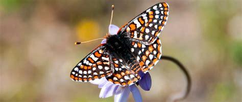 rare butterfly reintroduced  san diego nwr