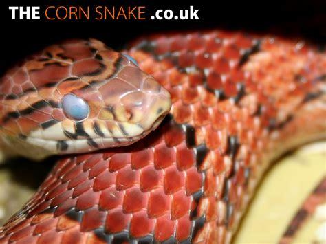 the corn snake co uk corn snake downloads desktop wallpaper