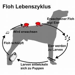Wie Lang Ist Ein Floh : flohbisse die untersch tzte gefahr f r mensch und tier ~ Eleganceandgraceweddings.com Haus und Dekorationen