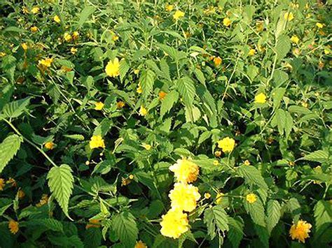 le floraison et croissance les arbustes 224 floraison printani 232 re