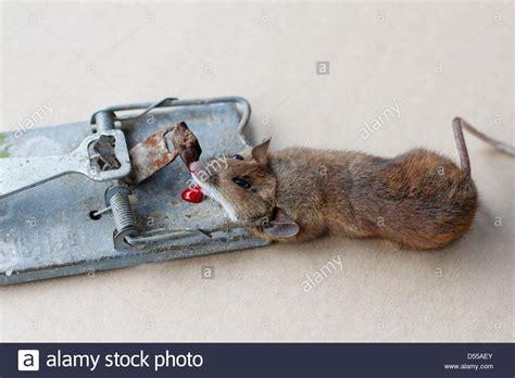 Maus Geht Nicht In Die Falle by Maus Gefangen Was Tun Baby Maus Gefangen Was Maus