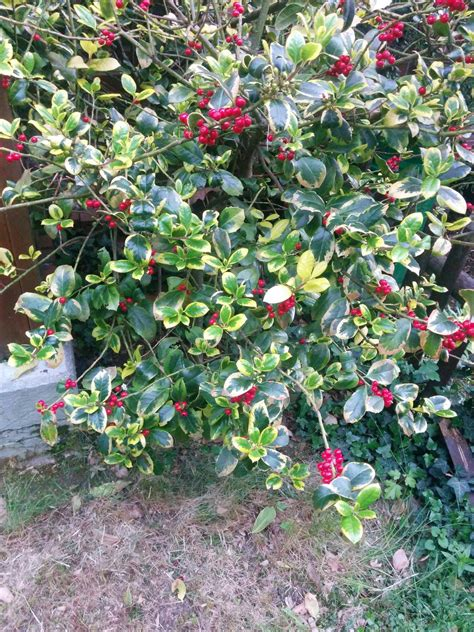 berried shrub identification what is this low growing bush with variegated leaves and red berries