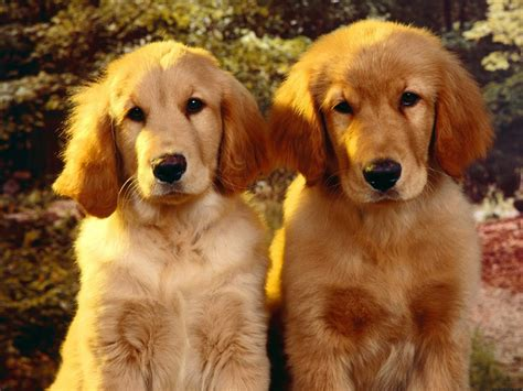 Golden Retriever Puppies 333 2 Cute Pinterest