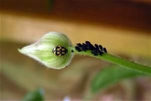 Was Hilft Gegen Blattläuse : blattl use hausmittel sind effektiv auf natur ~ Articles-book.com Haus und Dekorationen
