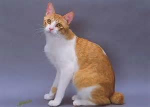 japanese cat breeds top cat breeds japanese bobtail cat