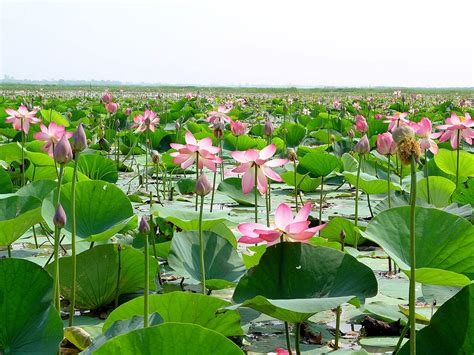 picture bangladesh wetland natural water lotus
