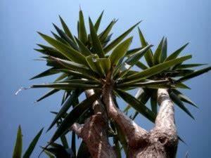 Yucca Palme Winterhart : so vermehren sie ihre yucca palme yucca palme pflege ~ Frokenaadalensverden.com Haus und Dekorationen