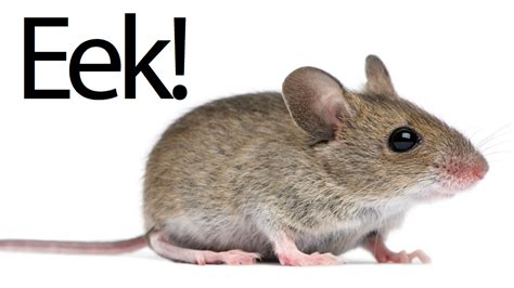 pictures of mice mouse on 757 grounds flight causes bad samuel jackson imitations gizmodo australia