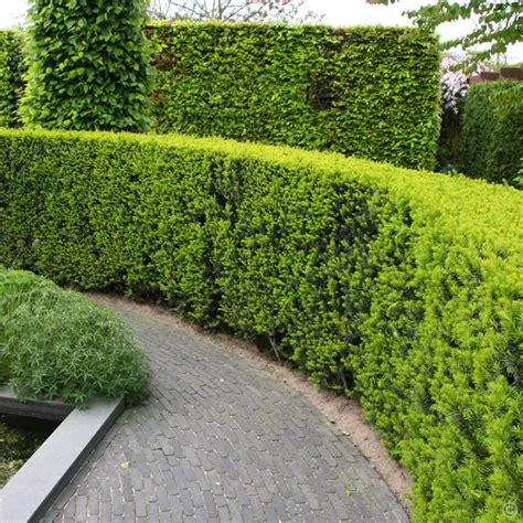 hedge plants taxus baccata english yew hedge 5 hedge plants buy online order yours now