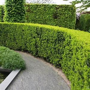Schnell Wachsende Büsche : eiben hecke 5 heckenpflanzen g nstig online kaufen bestellen sie schnell und bequem online ~ Whattoseeinmadrid.com Haus und Dekorationen