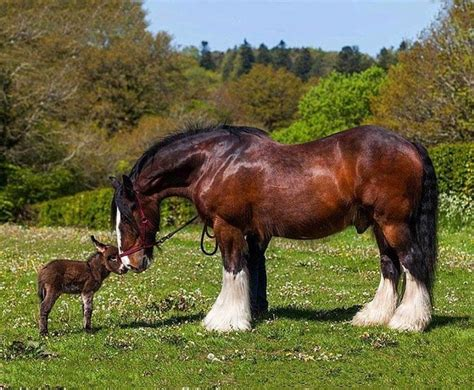 shire horse horses donkey clydesdale foal cute huge stallion giant donkeys breed facts cavalli mini kaltblut pretty nuzzling miniature animals