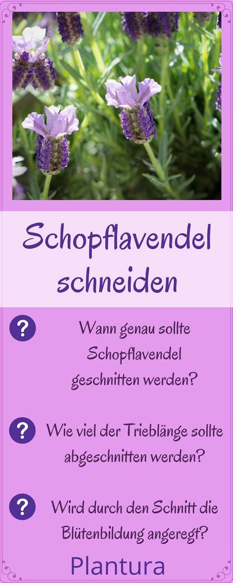 wann pflanzen zurückschneiden schopflavendel schneiden wann und wie zur 252 ckschneiden gruppenpinnwand kr 228 uter lavendel
