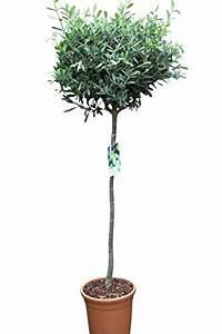 Asche Gut Für Pflanzen : pflanzen und andere gartenausstattung von olive grove online kaufen bei m bel garten ~ Markanthonyermac.com Haus und Dekorationen