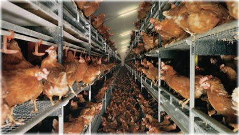 what is a cage free egg how was that chicken you re eating really treated honestly health