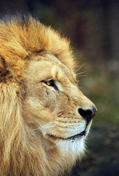Iphone Lion Ipad Wallpapers King Wallpapersafari Apple