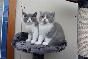 2 Blue & White British Shorthair Kittens | Blackburn ...