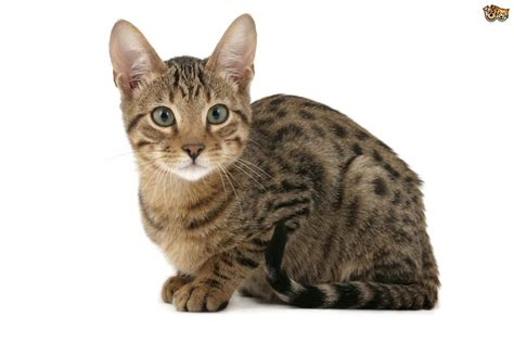 6 Large Domestic Cat Breeds With Wild Relatives Pets4homes