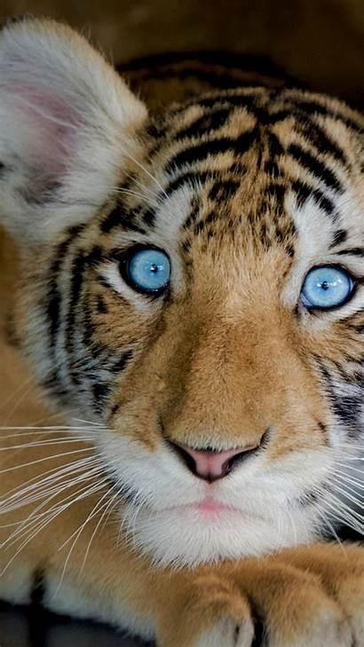 4k Animals Desktop Funny Wallpapers Tiger Animal