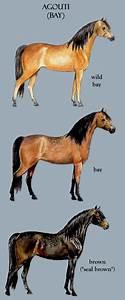 Homozygous-Horses   Internet Equine Directory   Agouti ...