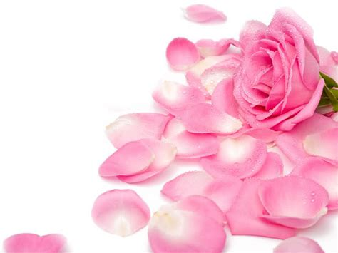 Pink Roses Background Wallpapers Pink Wallpapers