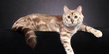 haired bengal cat haired bengal information overview