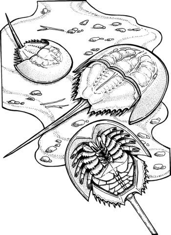 Horseshoe Crabs Coloring page | Horseshoe crab, Coloring