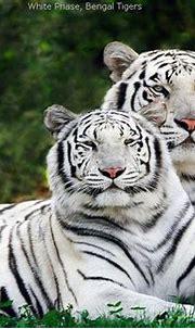 White Tiger - Best Animals