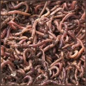 How to Use Worms to Make Organic Compost | Dengarden