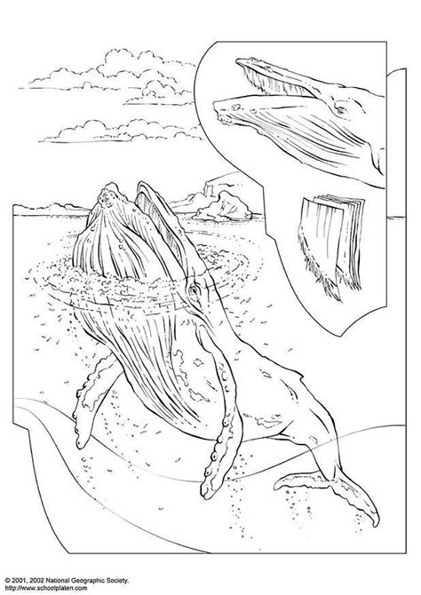 coloring page humpback whale  printable coloring pages
