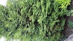 Thuja Hecke Innen Braun : zwergiger kugel lebensbaum thuja occidentalis danica g nstig online kaufen ~ Buech-reservation.com Haus und Dekorationen