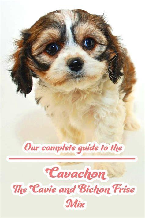 Do Cavachons Shed by Cavachon The Cavalier King Charles Spaniel Bichon Frise