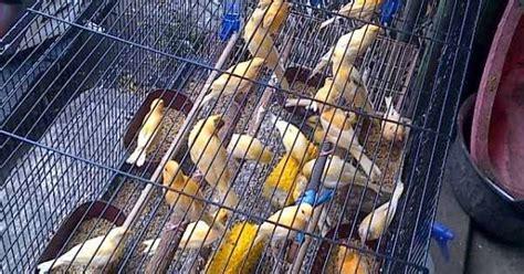 jual kenari bahan anakan lokal harga grosir burung