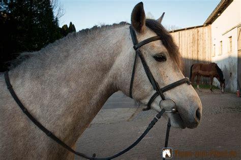 ein pferd aufzaeumen trense anlegen aber richtig