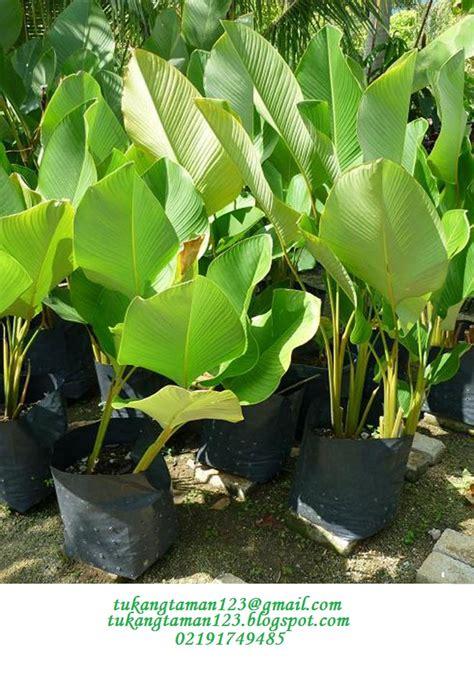tukang taman murah pisang kalatea tukang tamantanaman