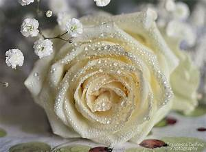White rose with water drops 2 by FrancescaDelfino on ...