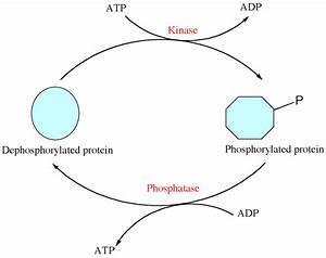 Scheme 1  Schematic Diagram Of Phosphorylation And