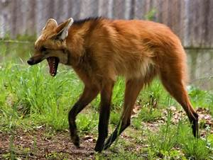Maned Wolf Stock 5 by HOTNStock on DeviantArt