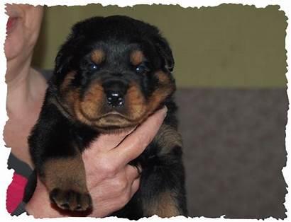Welpen Wochen Alter Wurf Puppies