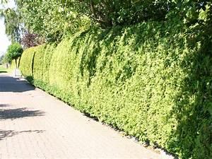 Lebensbaum Hecke Schneiden : lebensbaum schneiden cheap thuja lebensbaum smaragd im container with lebensbaum schneiden ~ Eleganceandgraceweddings.com Haus und Dekorationen