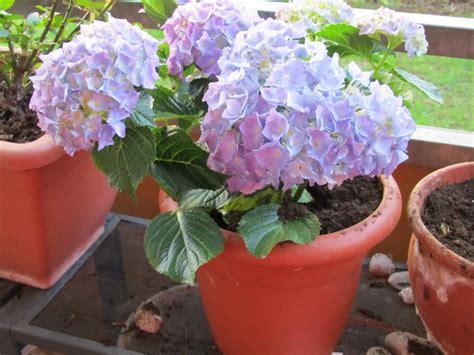 care of hydrangeas in pots hydrangeas in pots images