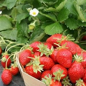 Plant De Fraise : plantes potag res tomate salade oignon pomme de terre ~ Premium-room.com Idées de Décoration