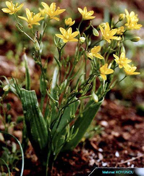 Liliaceae / Gagea gageoides (ZUCC.) VVED..jpg