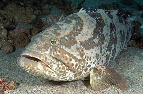 grouper spotted brown rockcod groupers marinethemes epinephelus