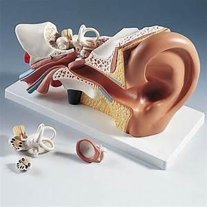 3b Human Ear Model