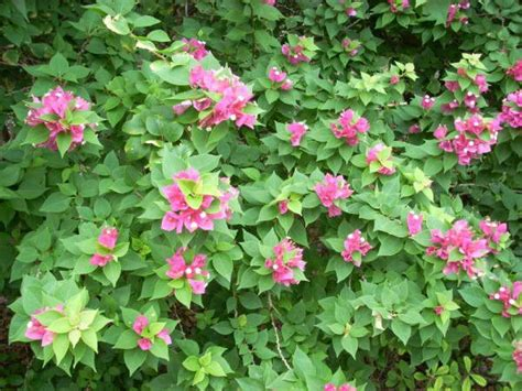 flowering bushes shrubs flowering shrubs are a great choice