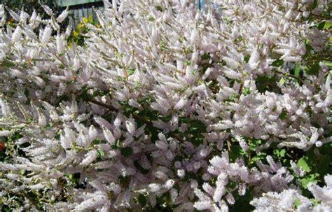 fragrant flowering bushes fragrant winter flowering shrub for beginners iboza riperia