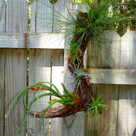 mounting air plants gnarly wooded air plants craft organic
