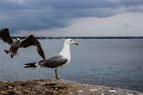 il gabbiano reale il volo gabbiano reale concorso fotografico borghi